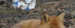Известная курьерская служба «Фокс-Экспресс» взяла шефство над лисом